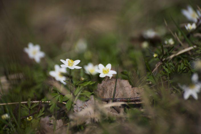 Pavasarinės gėlytės