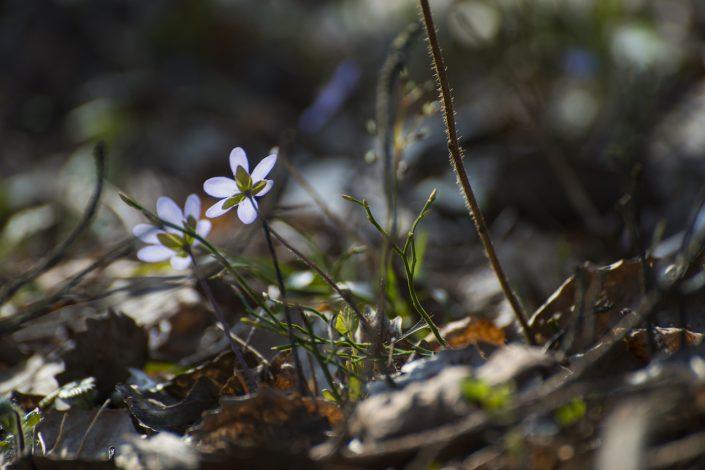 Pavasarinės žibuoklės