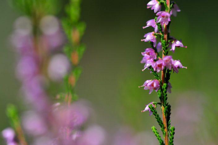 Miško gėlės